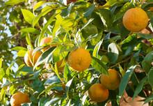 (Citrus Aurantium) Bigaradier Ou Oranger Amer Aux Rameaux Garnis D'oranges Teintées De Vert Et Jaune En Cours De Maturation, Au Gout Amer, à Peau Rugueuse, Au Feuillage Vert Foncé Et Odorant
