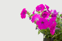 Beautiful Petunia Flower On Wh...