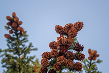 Clusters Of Blurred Spruce Or Pine Cones Hanging On The Branches Of A Coniferous Tree On Background Of A Clear Blue Autumn Sky View From Below. Organic Natural Background For Wallpaper Or Postcard.