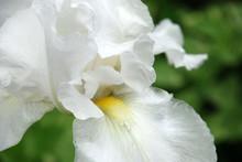 Clsoe Up Of A White Bearded Iris In A Flower Garden.