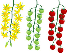Ripening Stages Of Tomatoes: F...
