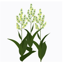 Vector Stock Illustration Of Spring Field Meadow Yellow Medicinal Natural Fresh Yellow Flowers On Legs.  Isolated On White Background