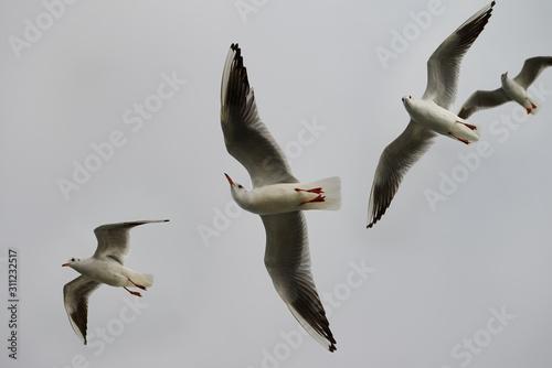 Fényképezés Four Common black headed gulls aloft over a ferry on the Dardanelles Turkey
