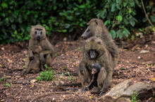 A Family Of Grey African Monke...