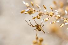 Yellow Spider Hanging From Sagebrush In The Desert