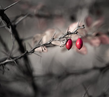Rose Hips On A Thorny Twig. Th...
