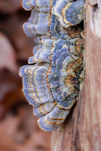 Blue Turkey Tail Mushroom (Trametes Versicolor)