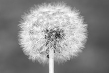 Black And White Dandelion Head...