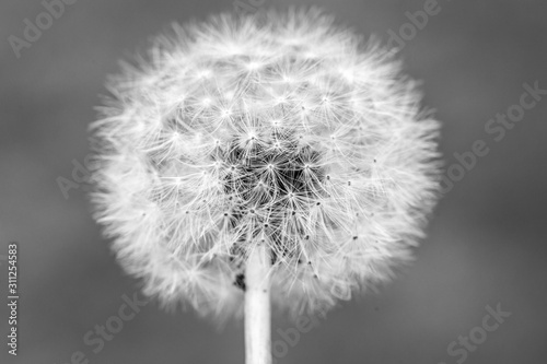 Photo Black and white Dandelion head with seeds , Taraxacum officinale, close up