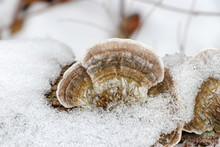 Close-up Of Hairy Bracket Mushroom (Trametes Hirsuta) Peeking Through Snow