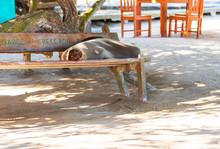 Sea Lion Lies On A Bench, Gala...