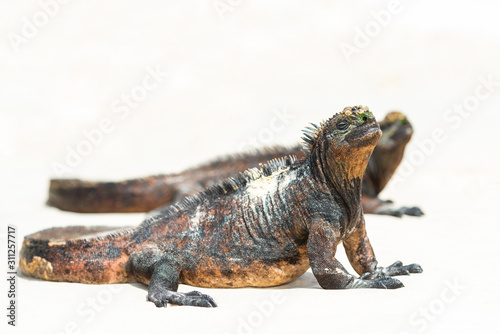Marine iguanas on a sandy beach  Galapagos Island  Santa Cruz Island- Port Ayora. With selective focus.