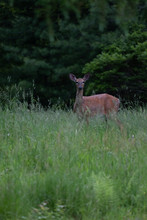 Deer Walking Close By In Tall Grass