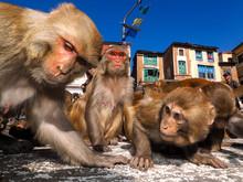 Rhesus Macaque (Macaca Mulatta...