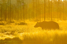 European Brown Bear, Wild In B...