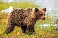 Brown Bear (Ursus Arctos) Walk...