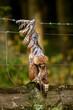 canvas print picture - Toter Bussard Vogel im Draht Zaun verfangen
