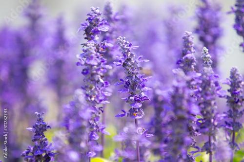 Fototapety, obrazy: Blue salvia field in garden