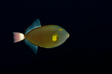 A Pink Tail Trigger Fish On A Black Background