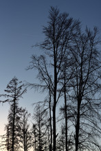 Bare Trees In The Forest As A ...
