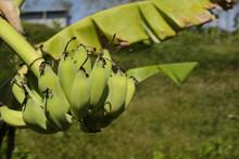Ripening Bananas Still On The Tree
