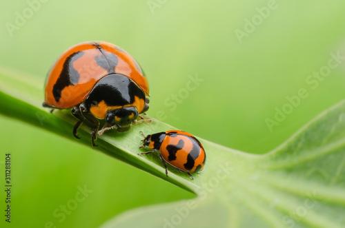 ladybug family on green leaf Canvas Print