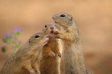 Three Squirrel In Wild Nature