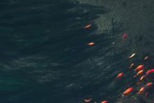 Colorful Koi Fish In The Natur...