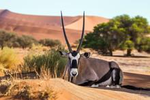 Gemsbok, Or South African Oryx (Oryx Gazella) Lying On The Sand In Sossusvlei Dunes, Namibia.
