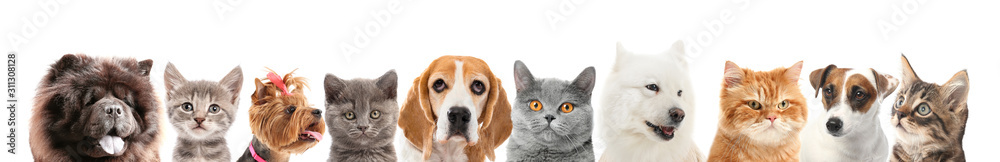 Fototapeta Set of different dogs and cats on white background