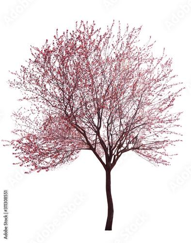 Canvastavla Beautiful blossoming tree on white background