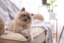 Birman Cat On Sofa At Home, Space For Text. Cute Pet