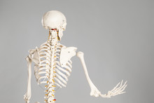 Artificial Human Skeleton Mode...