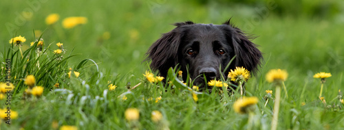 Flat coated Retriever Fotobehang