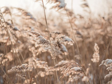 Dry Grass Sways In The Wind In The Sun In Winter. Beige Reed. Beautiful Nature Trend Background. Closeup