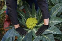 Harvesting Cauliflower In Autumn