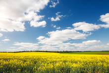 Bright Yellow Canola Field And...
