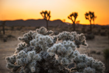 American Desert Landscape Background. Teddy Bear Cholla (Cylindropuntia Bigelovii) At Cholla Cactus Garden And Joshua Tree Silhouettes At Joshua Tree National Park, California, USA At Beautiful Sunset