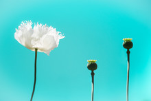 Abstract Background Of White Poppy (Papaver Somniferum) Beauty On Bright Neon Blue Sky. The Flower Is A World Symbol Of Peace And Pacifism, Worn With Red Remembrance Poppy For Remembrance Or Anzac Day