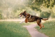 Happy Mixed Breed Dog Running Outdoors In A Collar With Gps Tracker