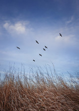 Flock Of Migratory Birds Flying Over Over A Meadow With Dry Grass. Late Autumnal Scene, Vertical Shot In The Nature With A Blue Sky Background.