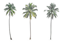 Coconut Palm Tree Isolated On ...