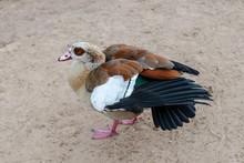 Portrait Of A Duck Walking On ...