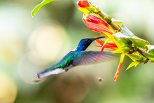 Hummingbird(Trochilidae)Flying...