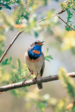 Beautiful Songbird Male Varakushki Sits On The Branches Of Willow In The Spring Sunny Garden And Sings