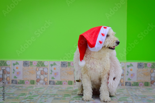 Christmas dog dressed as Santa Claus, isolated on a green background Canvas Print