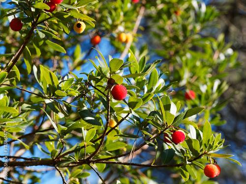 Erdbeerbaum Zweige mit Roten Früchten von Westliche Erdbeerbaum (Arbutus unedo) Wallpaper Mural