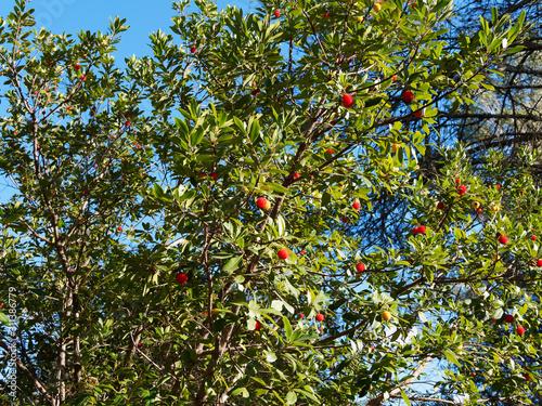 Westliche Erdbeerbaum in Provence (Arbutus unedo) mit großen Früchte, grün, reif Canvas Print
