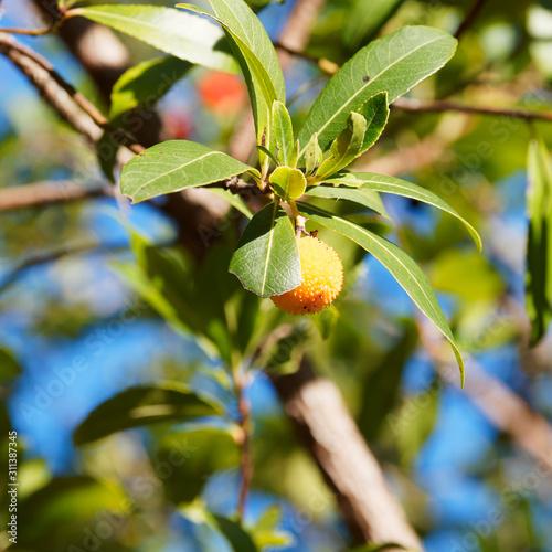 (Arbutus unedo) Westliche Erdbeerbaum in Provence, Früchte in verschiedenen Rei Canvas Print