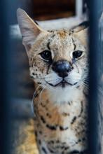 Portrait Of A Wild Cat Serval ...